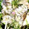 mosca tigre