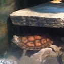 Pan's box turtle