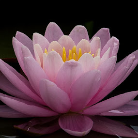 Serenity by Andrea Silies - Flowers Single Flower ( lily, bloom, pink, water lily, pond, flower,  )