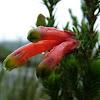 Fynbos-Erica spp