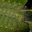 Caterpillar of Archduke Butterfly
