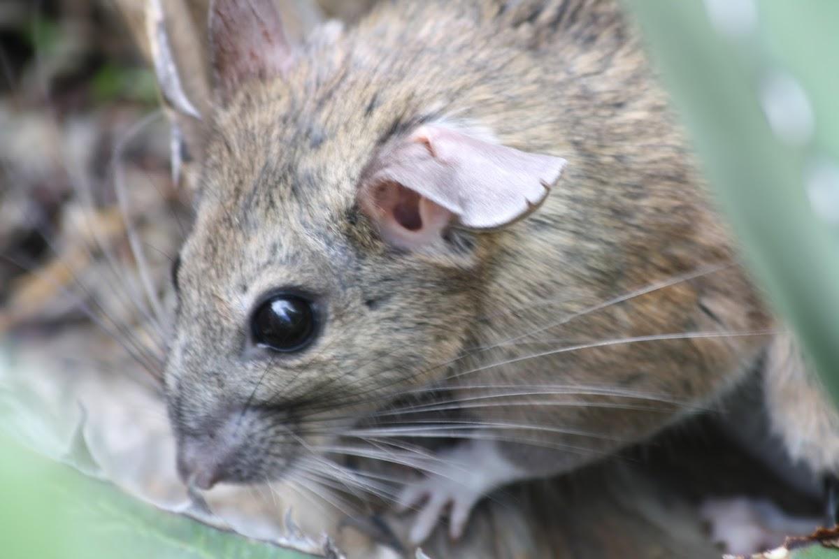 Rata Magueyera, White-throated Woodrat