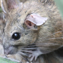 Rata Magueyera, White-throated Woodrat