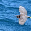 Eastern Reef Egret - Dark Morph
