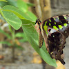 A female Tailed Jay