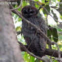 mottled wood owl - the pictures name is wrong