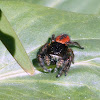 Red Backed Jumping Spider {Female}
