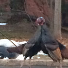 Wild North American Turkey