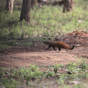 striped necked mongoose