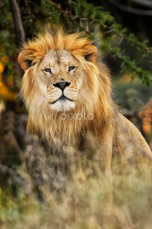 Lion Portrait by Cristobal Garciaferro Rubio - Animals Lions, Tigers & Big Cats