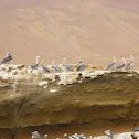 Peruvian Pelican - Pelicano Peruano