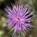 Purple Milkthistle