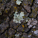 Common Greenshield Lichen