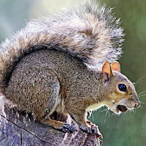 Sunrise squirrel breakfast by Sandy Scott - Animals Other Mammals ( mammals, squirrel at sunrise, squirrel with nut, tree dwellers, curte squirrel, squirrel,  )