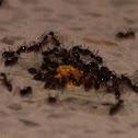 Longhorn crazy ant