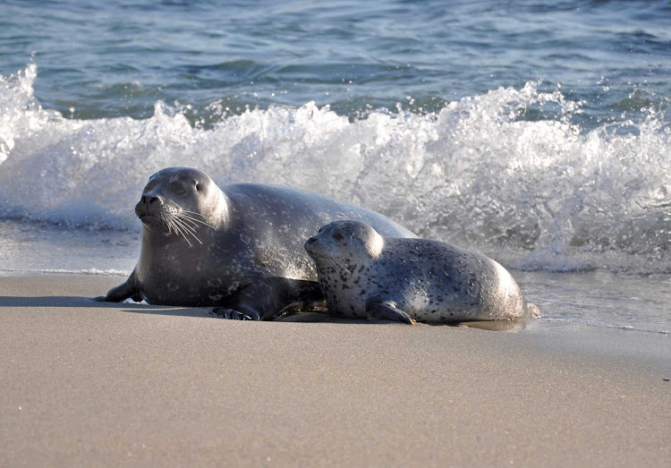 Mother and baby seal on La Jolla Coves Beach near San Diego.