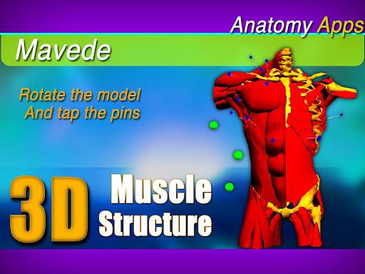 3D Upper Muscles