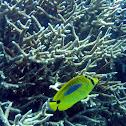 Bluespot Butterflyfish