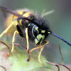 Common Wasp
