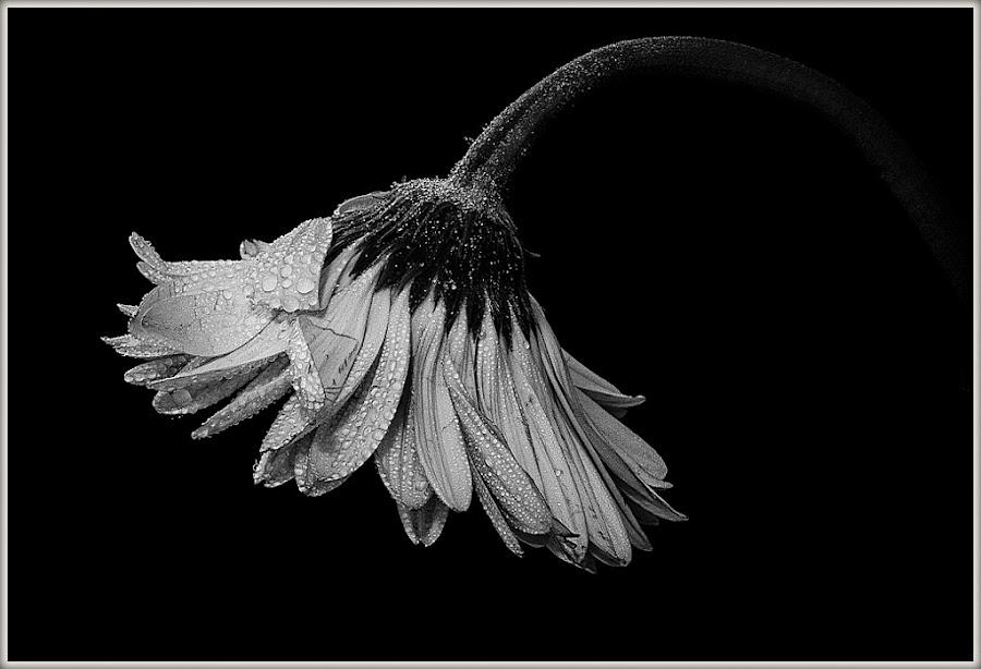 Looking Sad by Angela Thompson - Flowers Single Flower