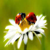 Ladybug Wallpapers HD