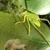 Gum leaf katydid - late instar