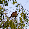 Golden Crowned Sparrow (Juvenile)