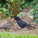 Amsel, black bird