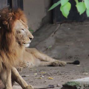King by Abdul Rauf Chaudhry - Animals Lions, Tigers & Big Cats ( lion sher zoo lahore pakistan chaudhry tiger chetah )