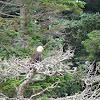 Bald Eagle & Water Foul