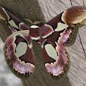 Rothschilds Moth