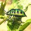Jewell Bug
