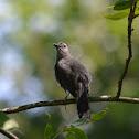 (Young) Gray Catbird