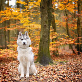 San by Paweł Prus - Animals - Dogs Portraits ( intelligent, almond, breed, canis, wood, pull, show, harsh, sled, siberia, colour, leafs, autumn, family, icee, husky, grey, working, coat, sibe, spitz, white, forest, siberian, woods, portrait, sitt, sitting, female, color, pet, outdoor, lupus, fall, active, ears, sibirsky, brown, square, dense, dog, nose, shaped )