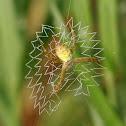 paired-legs orb web spider 金蛛