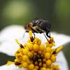 flower flies
