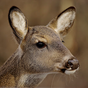 Brown Eyed Girl by Kimberly Davidson - Animals Other Mammals ( up close, nature, wildlife, doe, portrait, deer, face, photography, closeup, close, up,  )