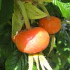Rugosa rose hips