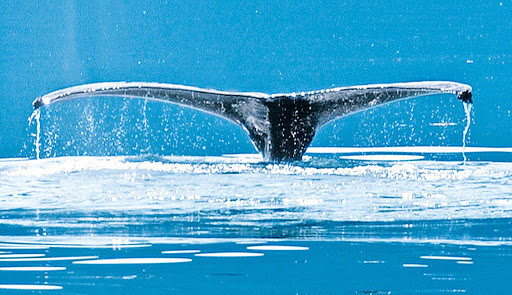 Humpback-whale-Princess - A humpback whale off the coast of Alaska during a Princess Cruises sailing.