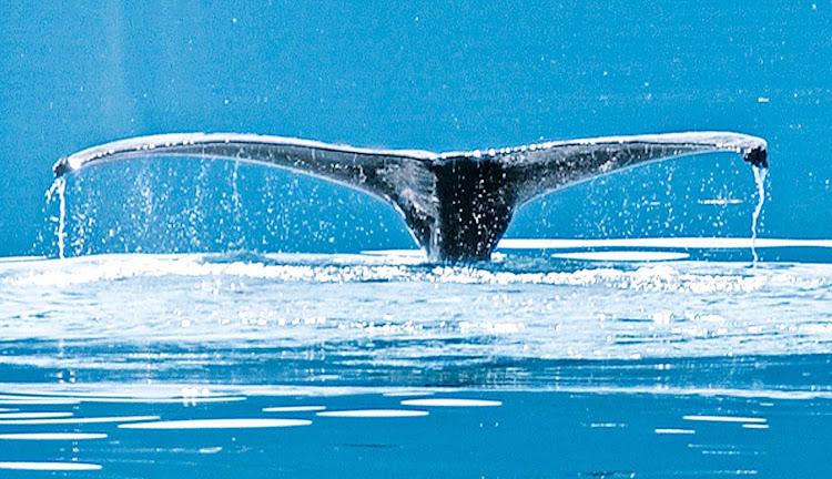 A humpback whale off the coast of Alaska during a Princess Cruises sailing.