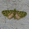 Emerald Pug Moth