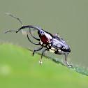 Trihorned baridine weevil