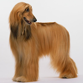 Afghan Hounds Wallpapers