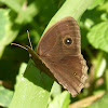 Dark-brand Bushbrown (dry season form)