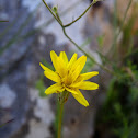 Scorzonera crocifolia (Σκορτσονέρα η κροκόφυλλη)