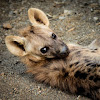 Spotted hyena (pup)