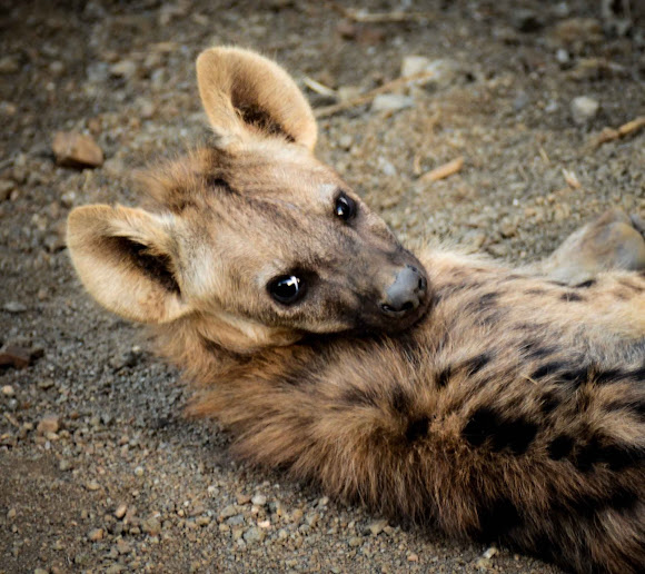 Spotted hyena (pup) | Project Noah