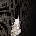 Larch Lappet moth