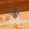 Nimble-footed mouse