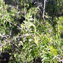 Little leaf sumac